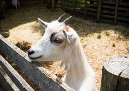 Chèvre dans une fermette d'une bleuetière membre du Regroupement